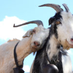 HappyGoats-2